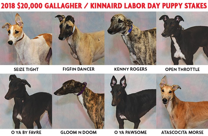 28b74ad71 Finale of the $20,000 Gallagher/Kinnaird Puppy Stakes, Monday Afternoon,  September 3, Labor Day!
